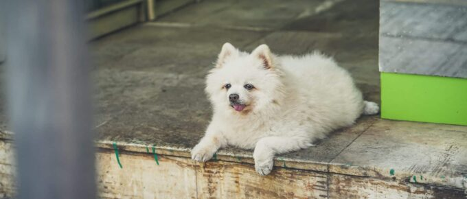 A fluffy white dog sits on a porch with its tongue out