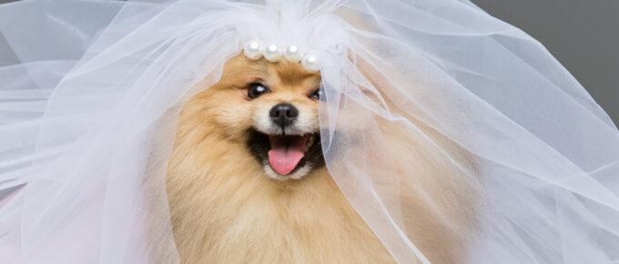 beautiful spitz dog bride in skirt and veil on gray background. copy space.