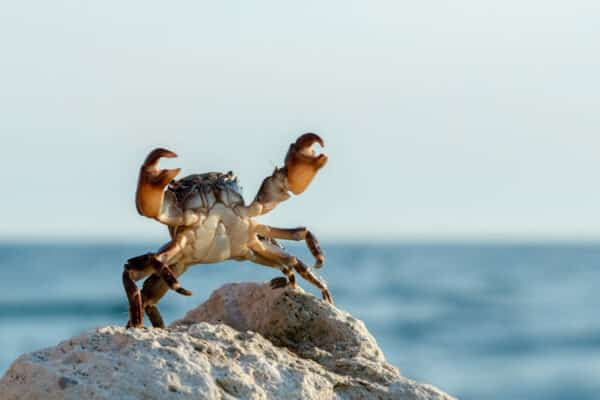crab bricklayer stand and threateningly lifted claws up