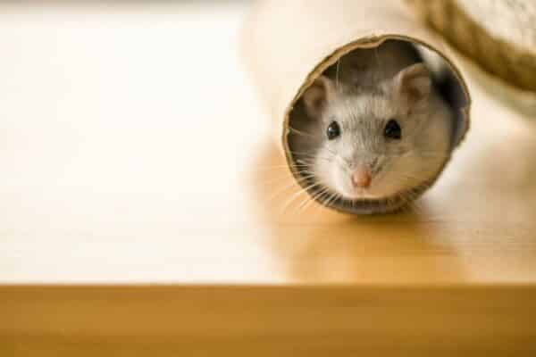 Hamster in a toilet paper roll